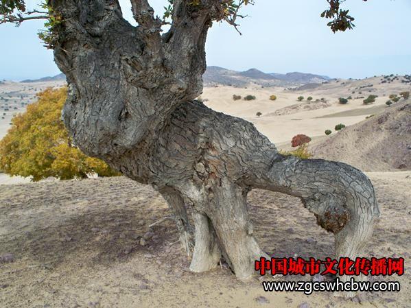 古树2.JPG